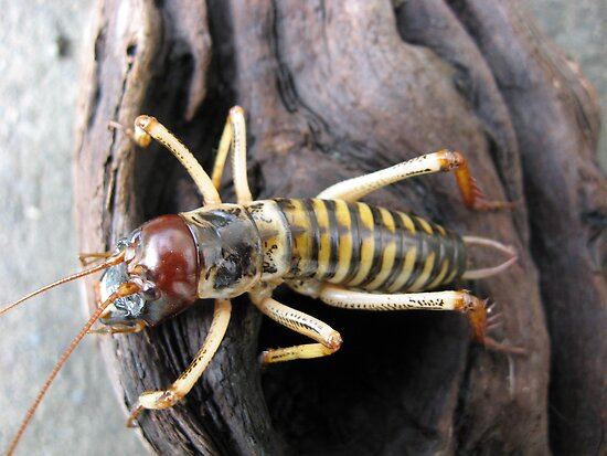 New Zealand Weta # 1 by niggle