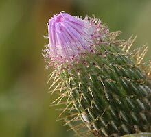 thistle bud by Christopher  Ewing