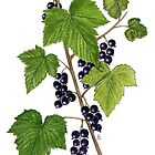 Blackcurrant - Ribes nigrum by Sue Abonyi