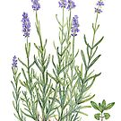 Narrow-leaved Lavender - Lavandula angustifolia by Sue Abonyi