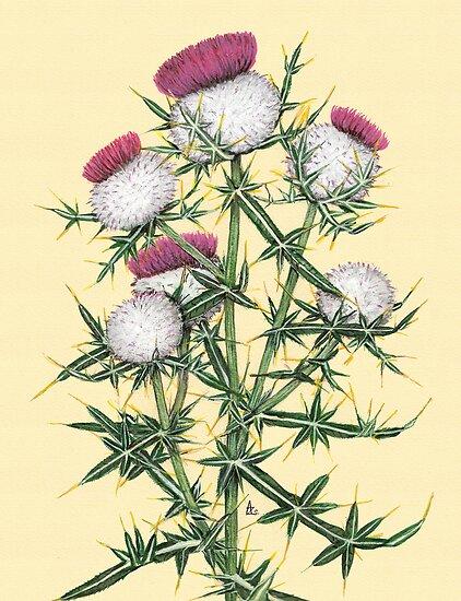 Woolly Thistle - Cirsium eriophorum by Sue Abonyi