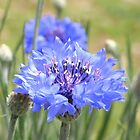 cornflower blue III by Floralynne