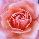 rosey glow by Floralynne