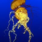 Sea Nettles (Chrysaora quinquecirrha) by Alain Turgeon