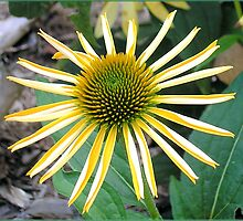 Yellow Coneflower (Echinacea Purpurea) by w1z111