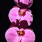 Three Orchids  by heatherfriedman