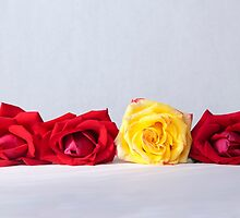 Stand out yellow rose, flower photography by SammyPhoto