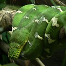 Emerald Tree Boa by margotk