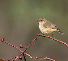 Buff-rumped Thornbill - Douglas by Rob Drummond