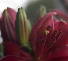 Asiatic lily by rawdiamond