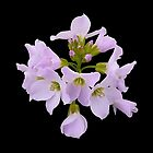 Cardamine pratensis by Evelyn Laeschke