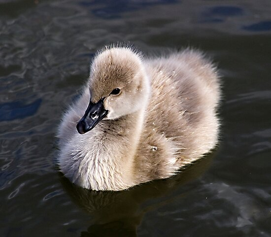 The ugly duckling.....not! by Ben Shaw