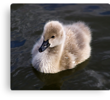 The ugly duckling.....not! Canvas Print
