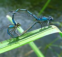 Damselfly Sweethearts by Sharon Perrett