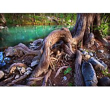 Cypress Roots Photographic Print