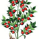 Butcher's Broom - Ruscus aculeatus by Sue Abonyi