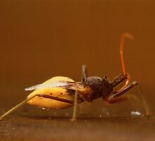 Assassin Bug by foto