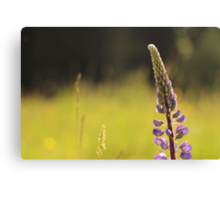 Lupin in the Light Canvas Print