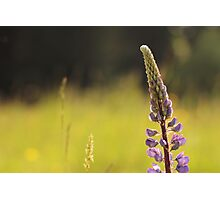 Lupin in the Light Photographic Print