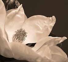 Magnolia 3 by Heather Davies