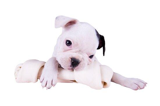 Little Bulldog , Big Bone by idapix
