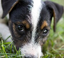 Jack Russel Terrier Puppy by idapix