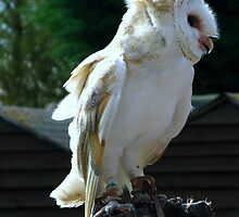 A Barn Owl by Sharon Perrett