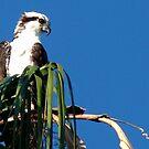 Osprey, Pandion haliaetus by Trace Lowe