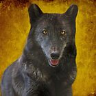 Black wolf by Sandy Keeton