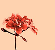 Geranium Peach by Shara