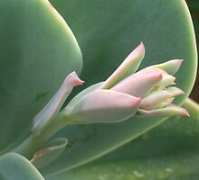 Succulent by Shara