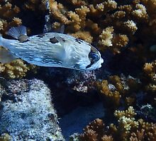 Little Box Fish La Paz by Randy Sprout