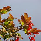 Indian Summer Two (Viburnum opulus) by Christian Rutz
