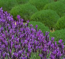 Lavendar Field by AustralianImagery