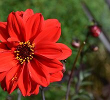 Red Flower by Leah Hislop by Leah Hislop
