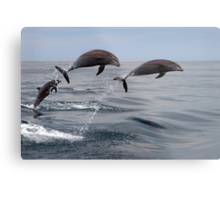 Jumping Dolphins Metal Print