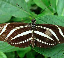 Zebra Longwing Butterfly - Open Wings by Sharon Perrett