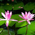 water lily III by Ryan Bird