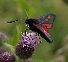 Five-spot Burnet Moth by Robert Carr