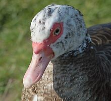 Muscovy Duck by Robert Carr