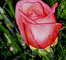First Rose by John  Simmons