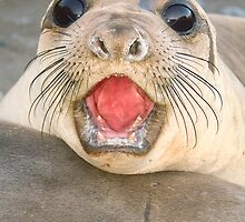 A female Elephant seal Mirounga angustirostris by Eyal Nahmias