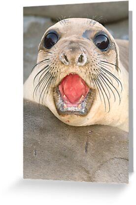 A female Elephant seal Mirounga angustirostris by Eyal Nahmias