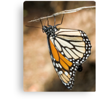 Monarch Butterfly closeup on a twig Canvas Print