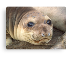 Young Elephant Seal pup Canvas Print