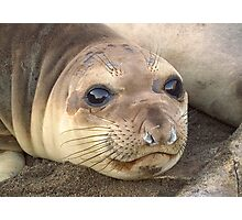 Young Elephant Seal pup Photographic Print