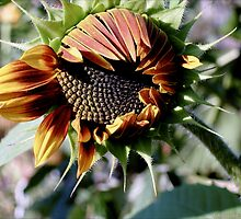Sunflower Hatchling by Robin Fortin IPA