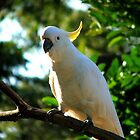 Sulfer Crested Cockatoo by Jaroadie