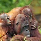 mother orangutan with her cute babies  by Enjoylife