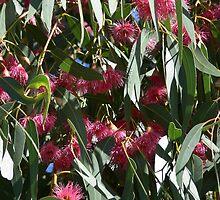 Flowering Eucalyptus Tree by Angela Browne